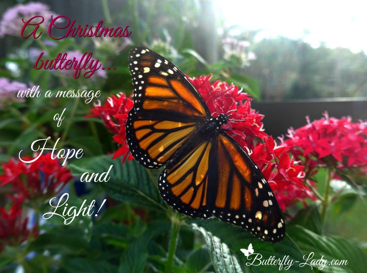 21 best Butterfly Christmas images on Pinterest | Butterfly ...