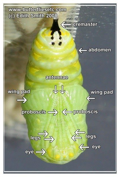 Butterflies: What is Going On Inside a Monarch Chrysalis?