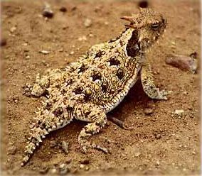 Horned Toad/Horned Lizzard or what we called 'em when I was growing up, horny toad!