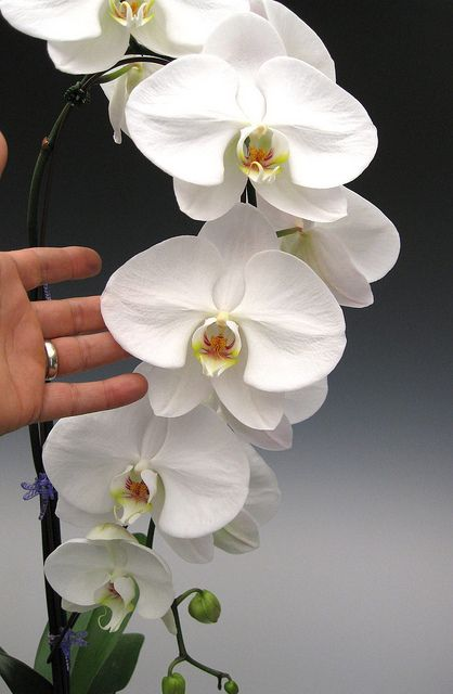Love White phalaenopsis orchids! #aromabotanical