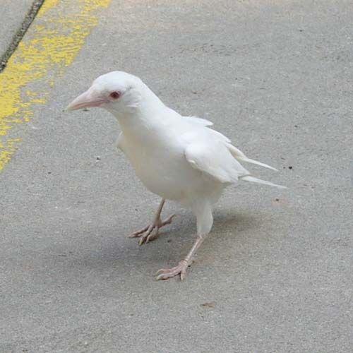 Albino crow - photo#29