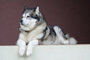 4 Alaskan Malamute Training Secrets – Train Your Alaskan Malamute Fast