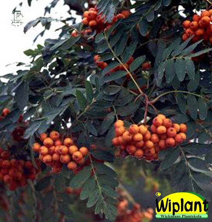 Sorbus 'Astrid', Astridrönn. Småvuxet träd med hängande grenar. Höjd: 4-10 m.
