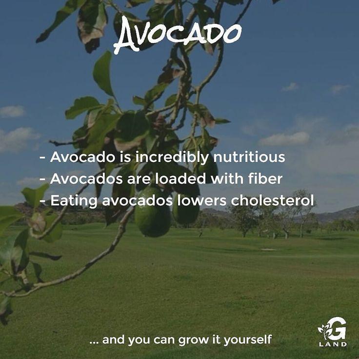 Check out my avocado grow http://buff.ly/2eliknR #garden #avocado #grow