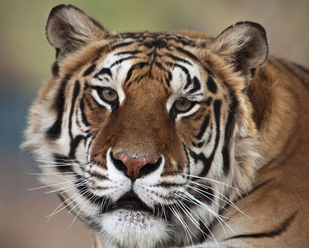 Tiger belonging to Michael Jackson dies  Thriller, a tiger that belonged to Michael Jackson when the entertainer lived at Neverland, has died of lung cancer at Tippi Hedren's wildlife preserve near Los Angeles.