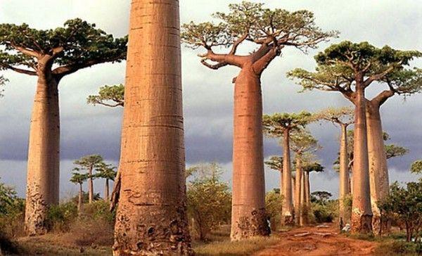 Ένα δέντρο-θαύμα, το Baobab μπορεί να μεταμορφώσει σήμερα και τα δικά σας μαλλιά!!! Μάθετε όλες τις λεπτομέρειες στο Beauty Blog του iLikeBeauty.Gr!