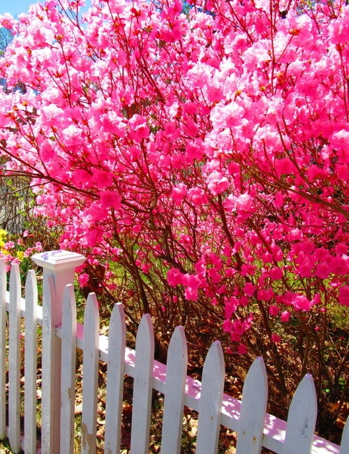 17 best ideas about pink flowering trees on pinterest for Pink small tree