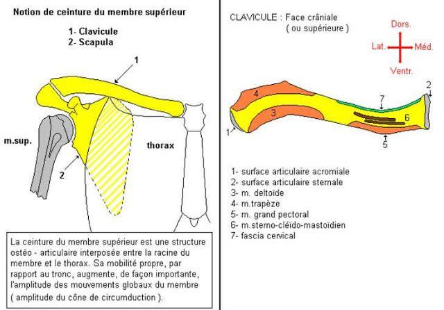 http://www.sofiotheque.com ************* OSTÉOLOGIE DU MEMBRE SUPÉRIEUR : CLAVICULE  Cours Résumés de la 1ère année médecine