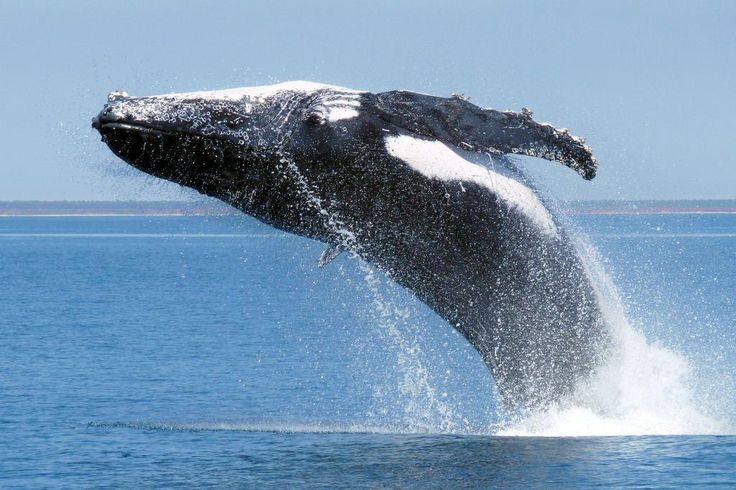 Humpback whale breaching - Broome. Its estimated that 40,000 Humpback whales spend half of their lives in the Indian Ocean in and around Broome.