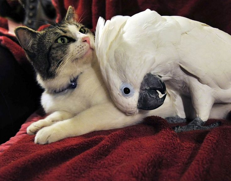 A cockatoo named Coco throws her whole body into a backrub for her cohabiting friend, Lucky in Savannah, GA. Love is love :): Animal Friendship, Kitty Cat, Best Friends, Unlikely Friendship, Cute Things, Odd Couple, Funny Animal, Savannah Georgia, Cute Kittens