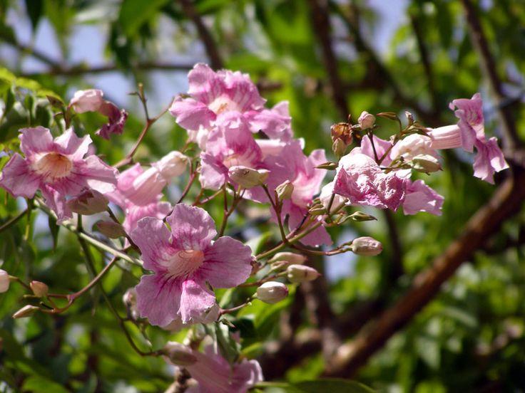 Pandorea Jasminoides, La Mortola - Giardini Botanici Hanbury