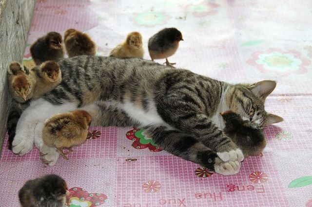 farmer's cat came across thirty chicks that escaped from their enclosure, the farmer feared the worst — but instead, the cat became their mother hen, licking and playing with the Chicken McNuggets.                Found by Barbarella, aka The Mad Cat Lady (via this Dutch site, where you can see more pics): Chicken Nuggets, Baby Chick, Sweet, Friends, The Real, Cat Sleep, Funny Animal, Cat Ladies, Kitty