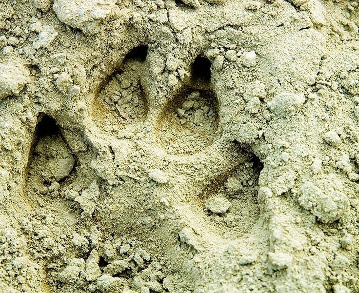 Identifying Animal Tracks | Survival Skills For Hunting And Wilderness Preparedness by Survival Life at http://survivallife.com/identifying-animal-tracks/