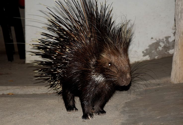 Porcupine Time! At DAKTARI some of the porcupines love to come and visit us at night time!