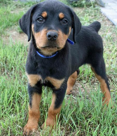 Más de 25 ideas increíbles sobre Rottweiler pictures en ...