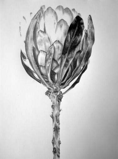 """Saatchi Art Artist Ira van der Merwe; Drawing, """"Protea Study III"""" #art"""