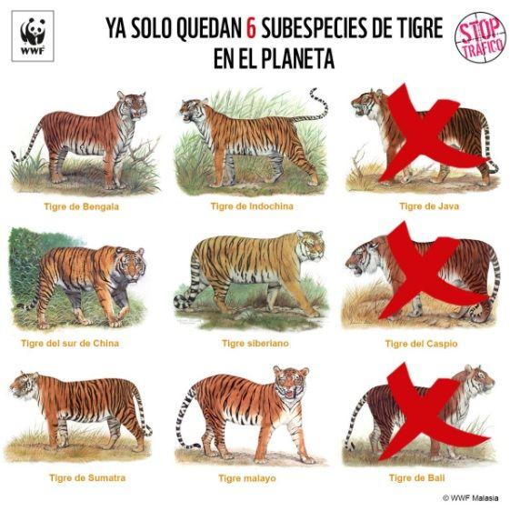 """¿Pero que c... le pasa a este maldito planeta lleno de """"humanos""""?  ¿Sabías que 3 de las 9 subespecies de tigre se extinguieron por la acción humana? por WWF España"""