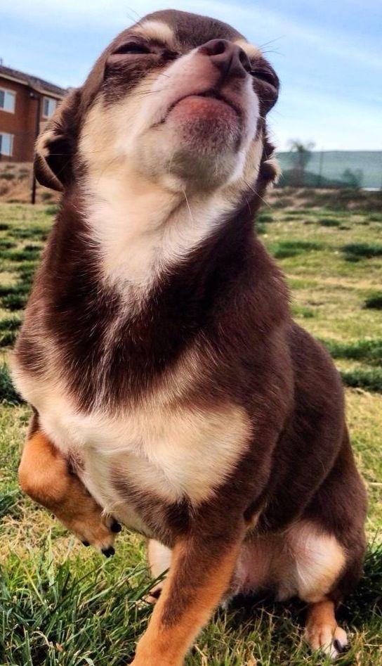 Chihuahua via www.Facebook.com/CuteChihuahuaFans
