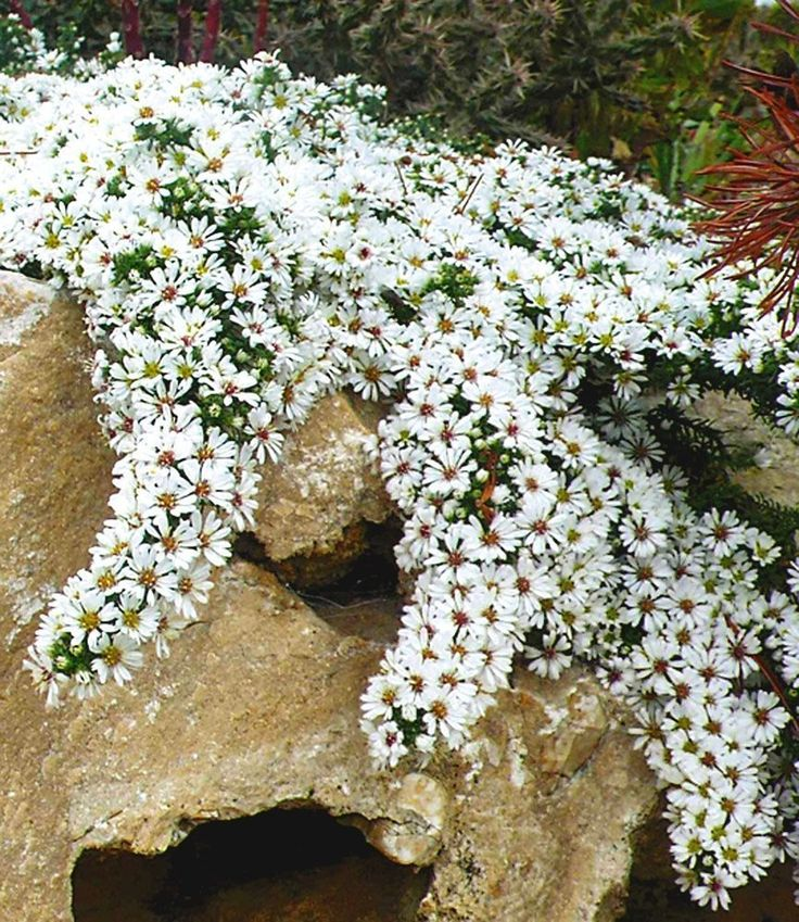 Winterharter Bodendecker Steinaster 'Snowflurry', 1 Pflanze Aster ericoides…