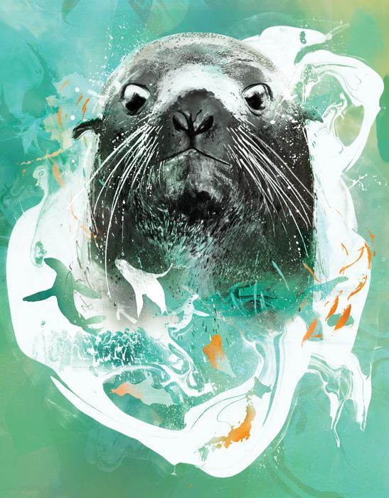 Wildlife illustartion, Norther Fur seal illustration by danny allison
