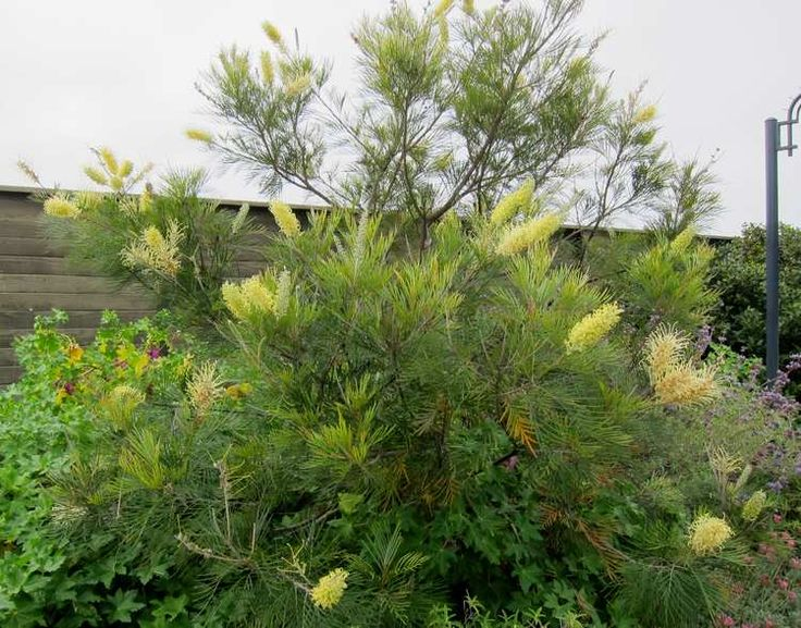 50 Best Images About Drought Tolerant Hedge Ideas On