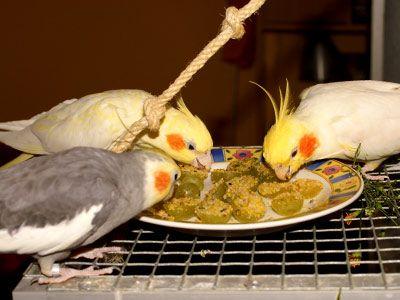 A importância da alimentação - Portal das Calopsitas