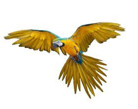 Flying loro imágenes PNG, descarga gratuita