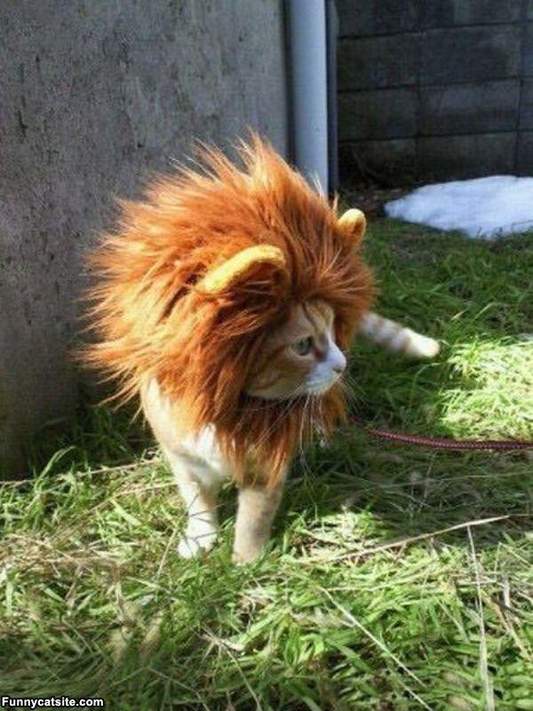 when I get a cat it's going to be a lion kitty.: Kitty Cat, Orange Cat, Halloween Costumes, Lion Cat, Pet, Cat Costumes, Lioncat, Lion Costumes, Lion King