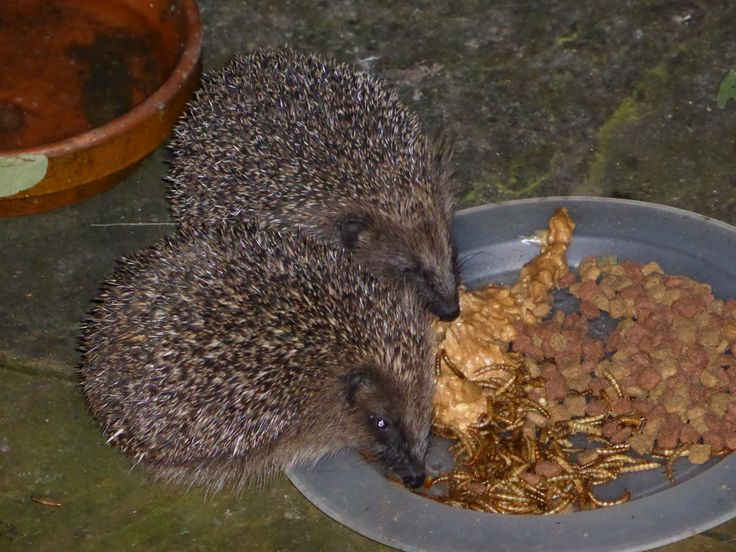 Our hegdehogs who visit us every evening for a tasty treat.  www.lynwood-house.co.uk