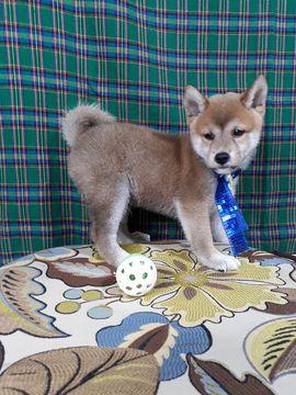Shiba Inu puppy for sale in LOS ANGELES, CA. ADN-43384 on PuppyFinder.com Gender: Male. Age: 6 Weeks Old