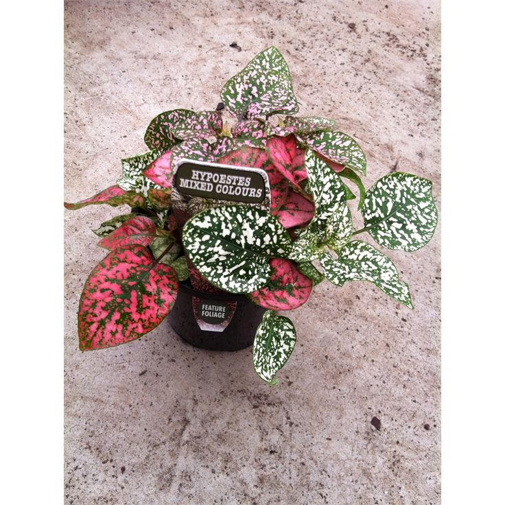 Find 130mm Hypoestes Sanguinolenta Triple Splash Freckle Face at Bunnings Warehouse. Visit your local store for the widest range of garden products.