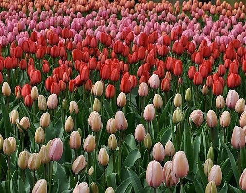 Tulips in Amsterdam's Keukenhof Gardens.