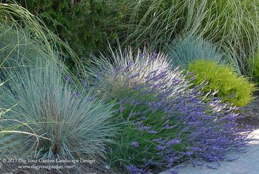 Blue Oat Grass, Helictotrichon sempervirens with Lavender and Breath of Heaven, Coleonema 'Sunset Gold'. © Eileen Kelly, Dig Your Garden Landscape Design http://www.digyourgarden.com