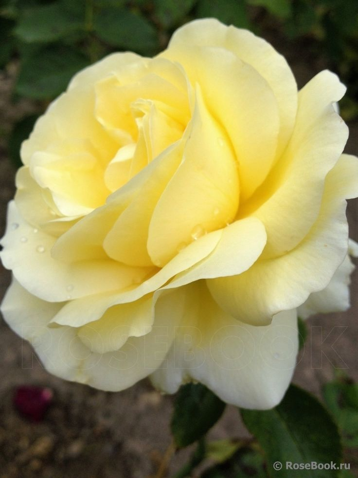 Avec Amour, Hybrid Tea rose. Hans Jürgen Evers, Germany 2004