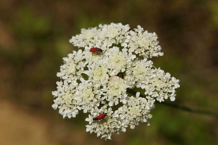 Yaban Havucu Çiçeği, Daucus Carota @Rumeli Kavağı #rumelikavağı