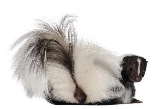 how to clean skunk smell