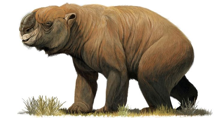 The giant, extinct marsupial Diprotodon optatum migrated seasonally, the first marsupial shown to do so.