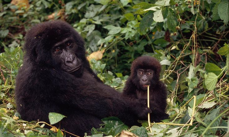 tropical wildlife | The Congo Basin's rivers, forests, savannas, and swamps teem with ...