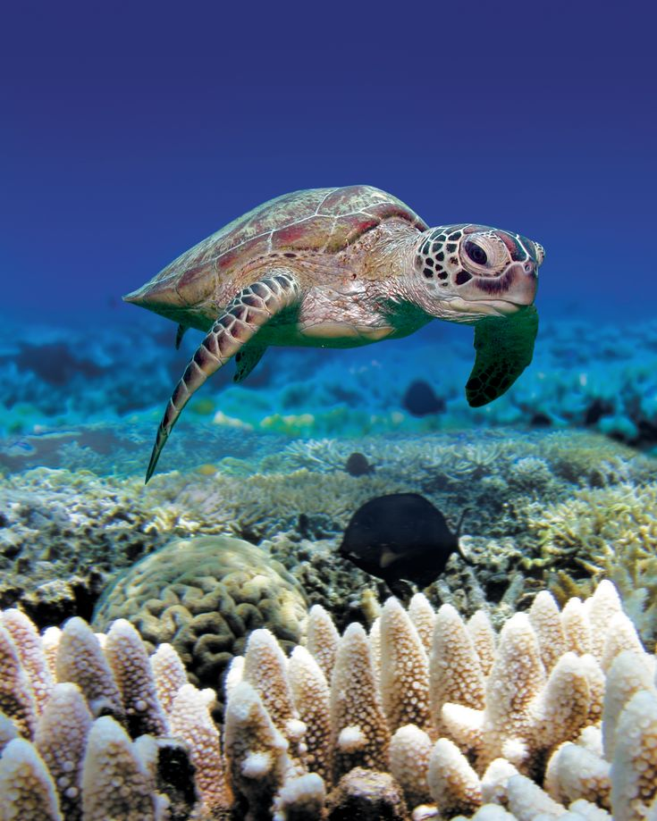 Green Sea Turtles Are Rarely Seen On Land, But When They
