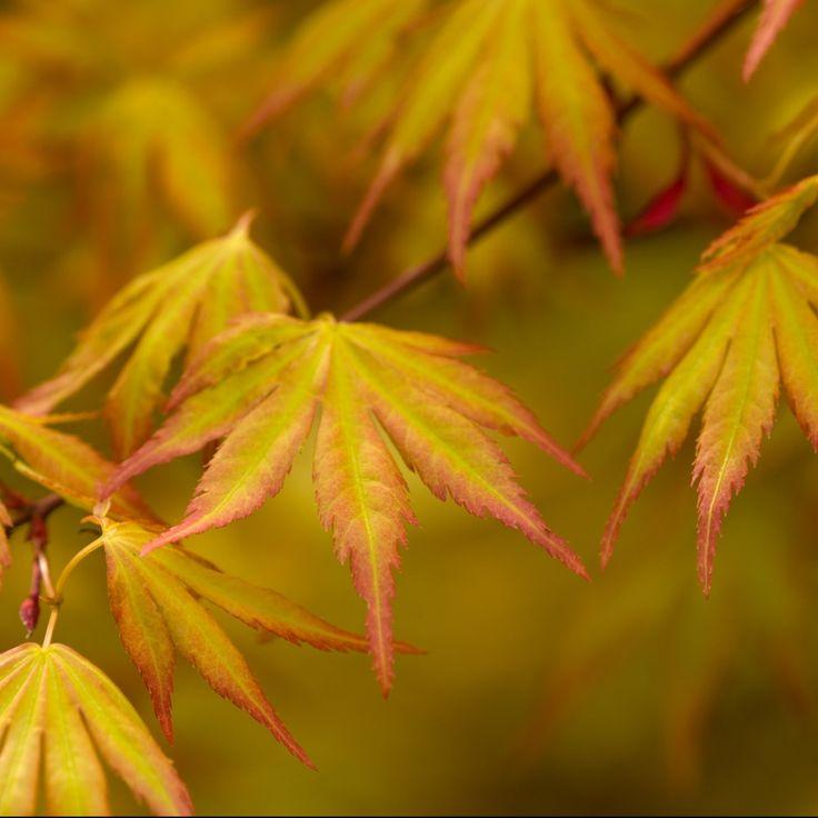 Arbuste au superbe feuillage doré et aux teintes automnales exceptionnelles, orange vif.