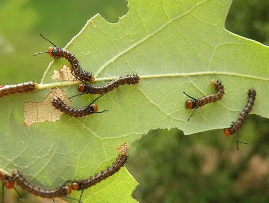 22 Best Images About Caterpillars, Pupae, & Butterflies On Pinterest