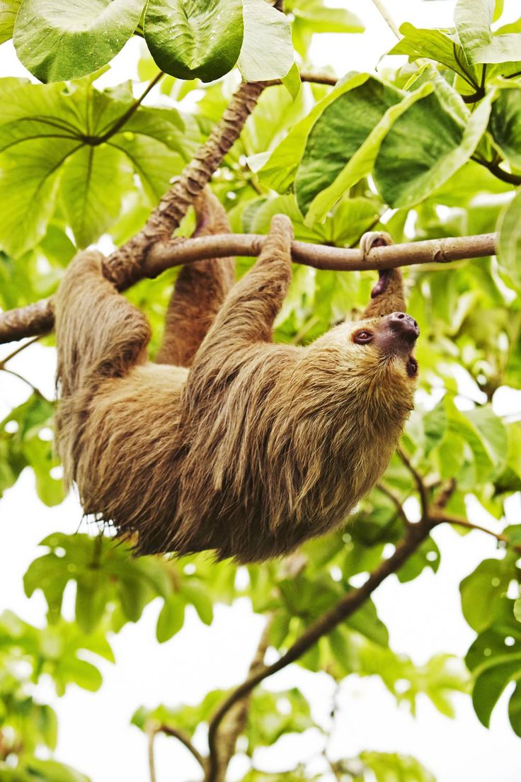 Sloth going to the bathroom - The Shaggiest Sloth On The History Of Sloths