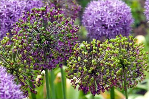 52 Best Allium Images On Pinterest Allium Purple