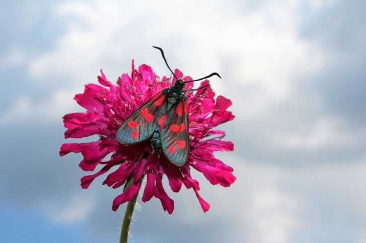 Burnet Moth on Scabious plant in the shrubberies at Croome, photo by Tracey Blackwell.