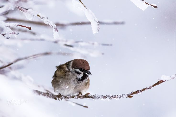 Bitter cold - Male Eurasian tree sparrow (Passer montanus) braving through the cold and heavy snow