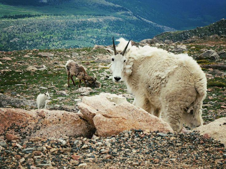Chèvres de montagne en haut du mont Evans - Colorado
