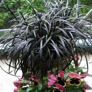 16 best images about indoor plants for low light adahlia for Hearty ornamental grasses