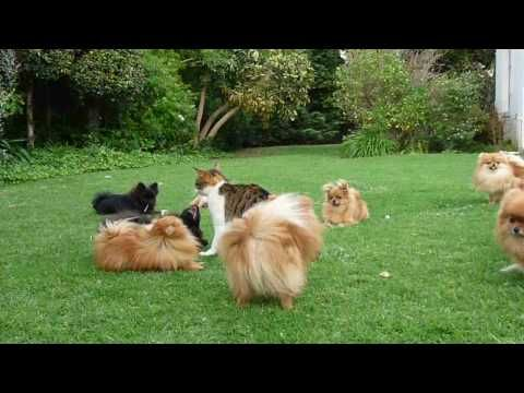 "Pomeranian (like Boo) puppies ""attack"" (play with) the cat!!! Tough cat! #Pomeranian #PomeranianVideos"