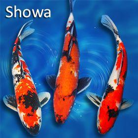 Showa Koi