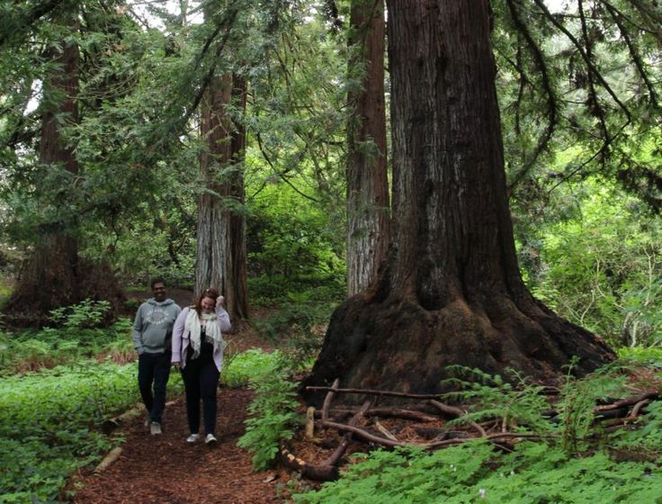 Golden Gate Park's Botanical Garden is home to the century-old Redwood Grove